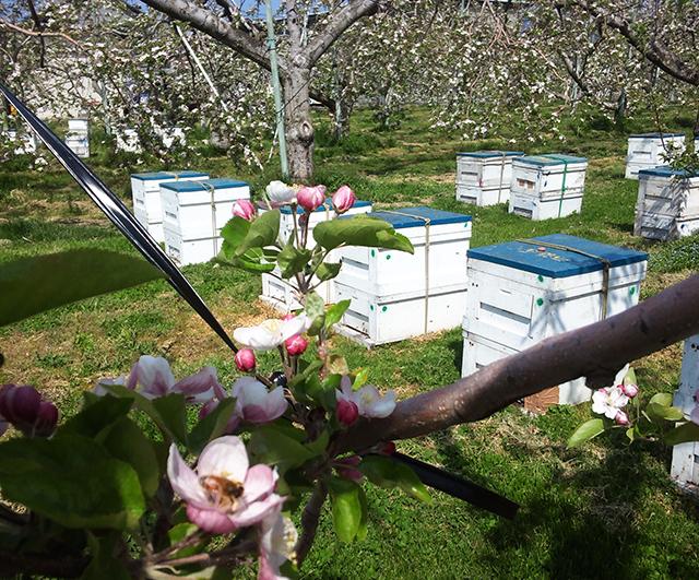 リンゴ採蜜中