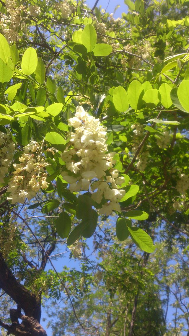アカシヤ花