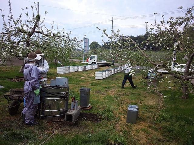 リンゴ採蜜